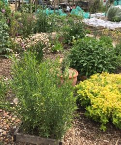 Plants growing at Henley allotment